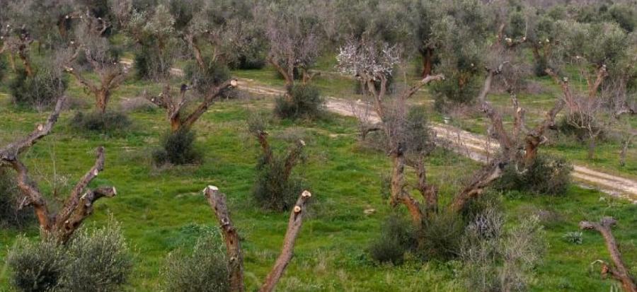 Actualite Actualite Corse : des oliviers touchés par la Xylella fastidiosa